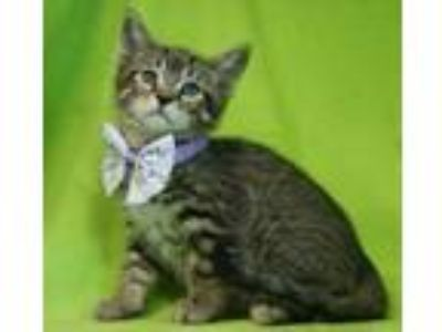 Adopt Biscotti a Domestic Short Hair, Tiger