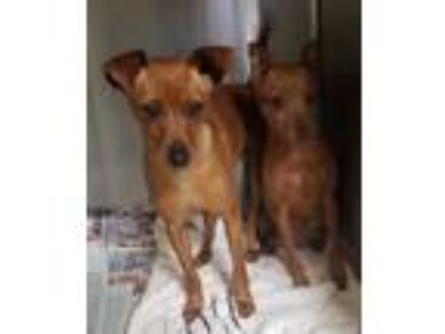 Adopt Frieda a Red/Golden/Orange/Chestnut Miniature Pinscher / Mixed dog in