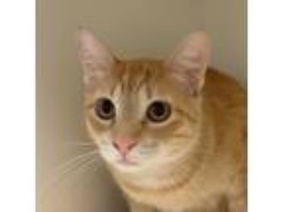 Adopt Tango a Orange or Red Domestic Shorthair / Domestic Shorthair / Mixed cat