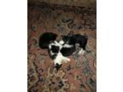 Adopt Hazel & Kittens - Coming Soon a Domestic Short Hair