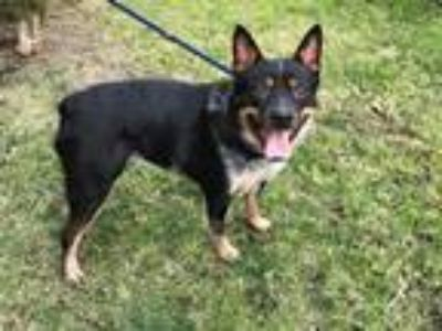 Adopt MOJO a Tricolor (Tan/Brown & Black & White) Cattle Dog / Mixed dog in San