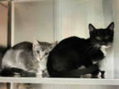 Adopt RACHEL a Gray, Blue or Silver Tabby Domestic Shorthair / Mixed (short