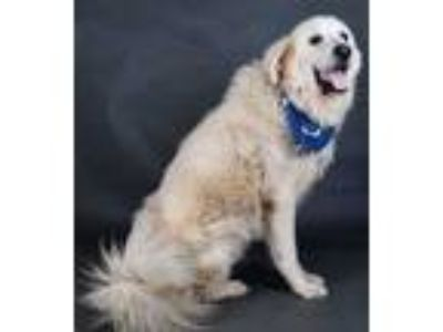 Adopt Bear a White Great Pyrenees / Mixed dog in Irving, TX (25539105)