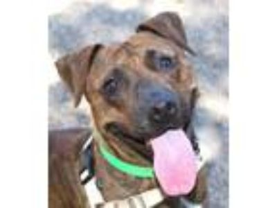 Adopt Reeses a Pit Bull Terrier