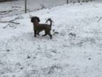 Adopt Teddy a Brown/Chocolate - with White Havanese / Mixed dog in Glen Burnie
