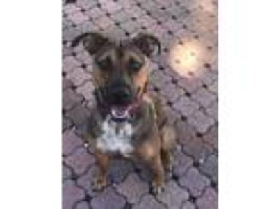 Adopt Rosie a Brown/Chocolate Boxer / Mixed dog in Gettysburg, PA (25656749)
