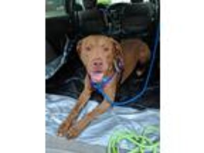 Adopt Diesel a Brown/Chocolate Labrador Retriever / American Pit Bull Terrier /