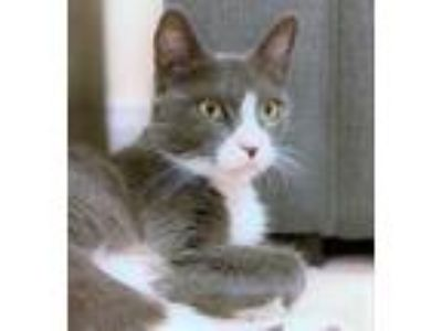 Adopt Gaia a Gray or Blue Domestic Shorthair / Domestic Shorthair / Mixed cat in