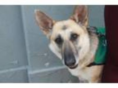 Adopt Kitty Wells a Black - with Brown, Red, Golden, Orange or Chestnut Shepherd
