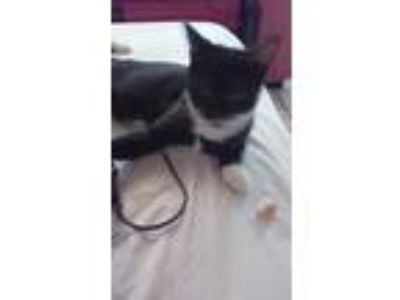Adopt Nani & Nina a Black & White or Tuxedo Domestic Mediumhair / Mixed cat in