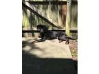 Adopt Mason a Black - with Tan, Yellow or Fawn Labradoodle / Hound (Unknown