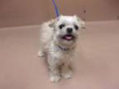 Adopt Pear a Brussels Griffon, Mixed Breed
