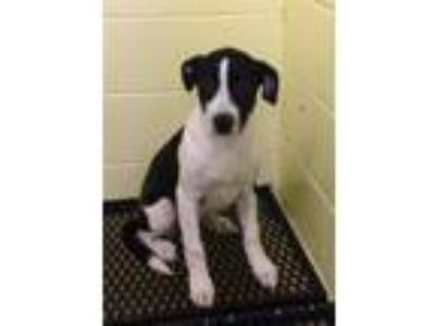 Adopt Daisey a American Pit Bull Terrier / Border Collie / Mixed dog in