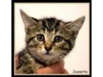 Adopt Jeanette a All Black Domestic Shorthair / Domestic Shorthair / Mixed cat