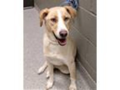 Adopt Tani (Shorewood) a Australian Cattle Dog / Blue Heeler, Golden Retriever