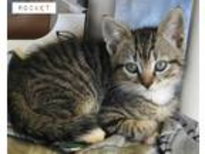 Adopt ROCKET a Gray, Blue or Silver Tabby Domestic Shorthair (short coat) cat in