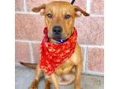 Adopt Joey a Brown/Chocolate Labrador Retriever dog in San Antonio