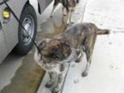 Adopt WOODY a Brindle Labrador Retriever / Mixed dog in Pearland, TX (25751150)