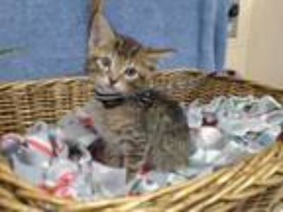 Adopt TIGER WOODS a Domestic Short Hair