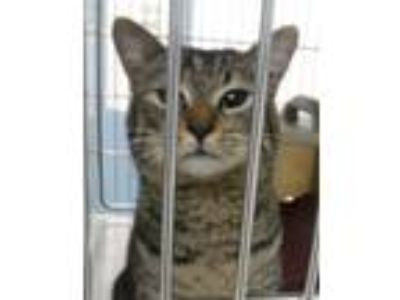 Adopt Rayburn a Domestic Short Hair