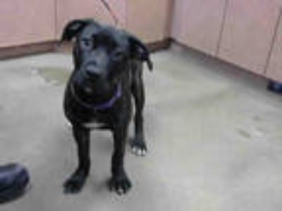 Adopt *PING a Brindle American Pit Bull Terrier / Mixed dog in Sacramento