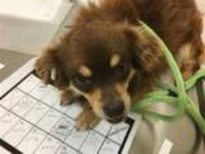 Adopt MIKE a Brown/Chocolate - with Tan Pomeranian / Mixed dog in Murray