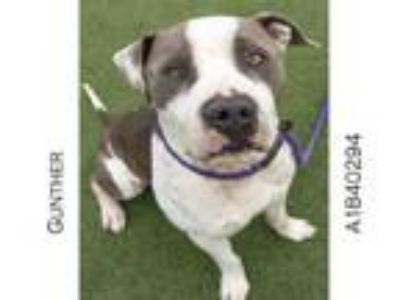Adopt GUNTHER a Mixed Breed, Staffordshire Bull Terrier