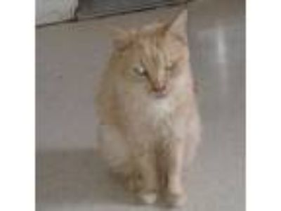 Adopt Kate a Orange or Red Domestic Shorthair / Domestic Shorthair / Mixed cat