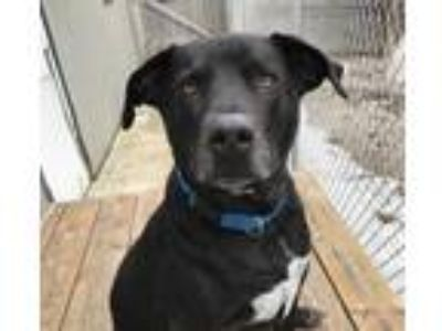 Adopt Bo a Black Labrador Retriever / American Pit Bull Terrier / Mixed dog in