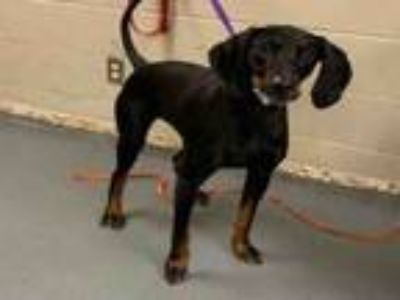 Adopt NORA JEAN a Black and Tan Coonhound