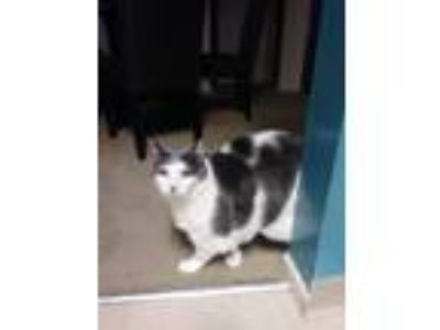 Adopt Spirit a Gray, Blue or Silver Tabby Domestic Shorthair / Mixed cat in