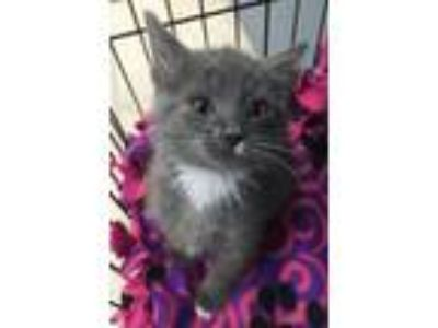 Adopt Luciano a Domestic Short Hair