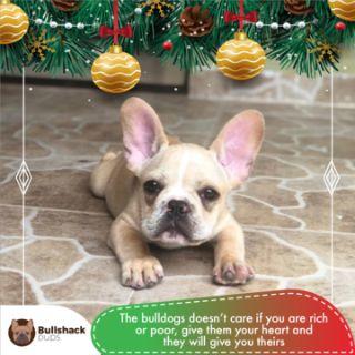Bulldog PUPPY FOR SALE ADN-105098 - French Bulldog Male