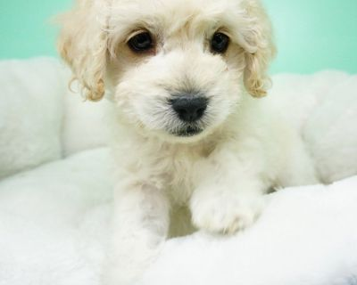 Maltipoo Puppy – Male- Jasper ($1,250)