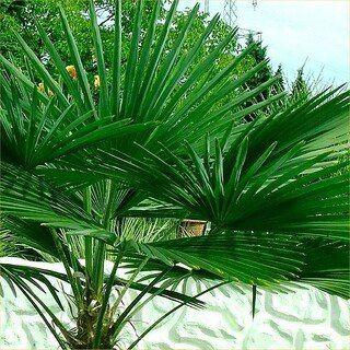 Sabal Palm Trees for Sale South Carolina | Palm Tree Depot
