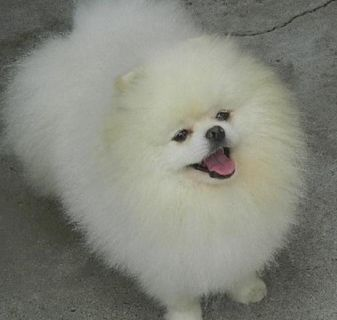 WELCOMED Pomeranian puppies ready