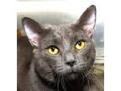 Adopt FERGUSON a Gray or Blue Domestic Shorthair (short coat) cat in New Haven