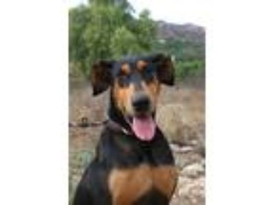 Adopt Marlon a Black - with Tan, Yellow or Fawn Doberman Pinscher / Mixed dog in