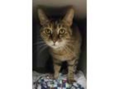 Adopt Maddie a Domestic Shorthair / Mixed cat in Madison, NJ (24937241)