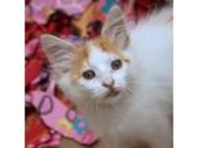 Adopt Cosette a White Domestic Shorthair / Domestic Shorthair / Mixed cat in San