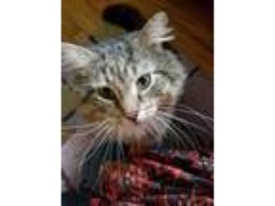 Adopt Mr. Big (FIV+) a Brown Tabby Maine Coon cat in Mount Laurel, NJ (21094306)
