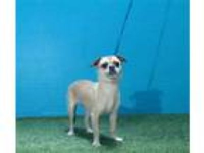 Adopt PEPPER a Tan/Yellow/Fawn - with White Rat Terrier / Pug / Mixed dog in