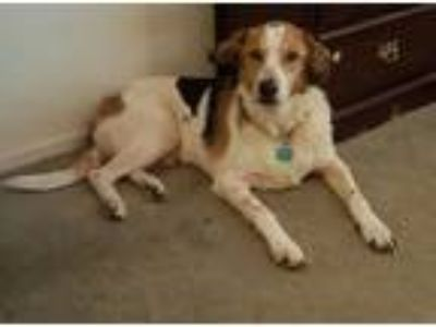 Adopt Connor a Tricolor (Tan/Brown & Black & White) Labrador Retriever / Mixed