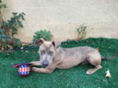 Adopt BRENT a Brindle American Pit Bull Terrier / Mixed dog in Chula Vista