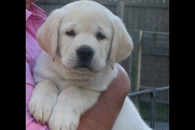Champion Sired English Labrador Retriever Puppies