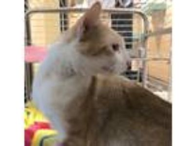 Adopt Noodle a White Domestic Shorthair / Domestic Shorthair / Mixed cat in