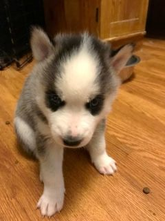 Siberian Husky PUPPY FOR SALE ADN-94511 - Purebred CKC Siberian Husky Puppy