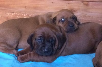 Redbone Coonhound PUPPY FOR SALE ADN-81374 - Purebred Redbone Coonhound Puppies