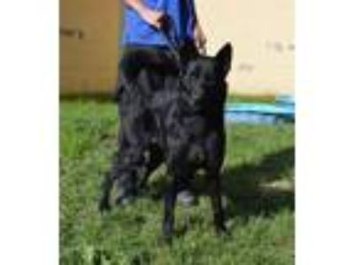 Adopt A665301 a German Shepherd Dog