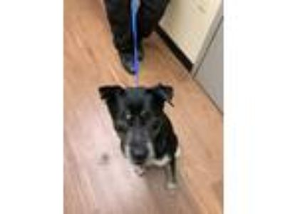 Adopt Rocket a Black - with Tan, Yellow or Fawn Labrador Retriever / Akita dog